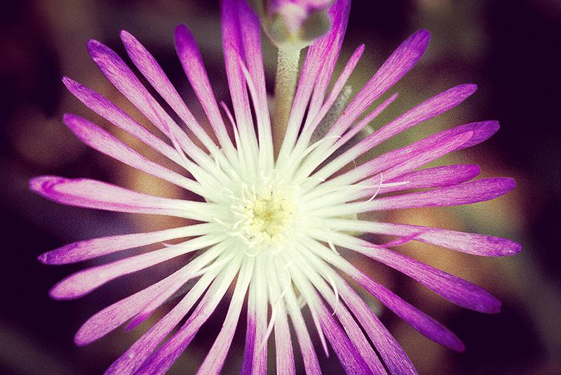 Delosperma floribundum Starburst_