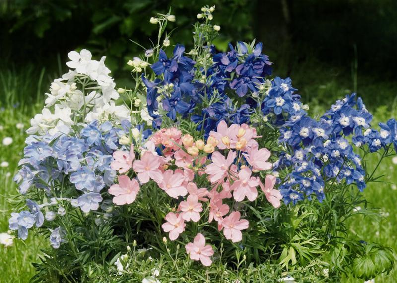 Delphinium elatum Summer Colors