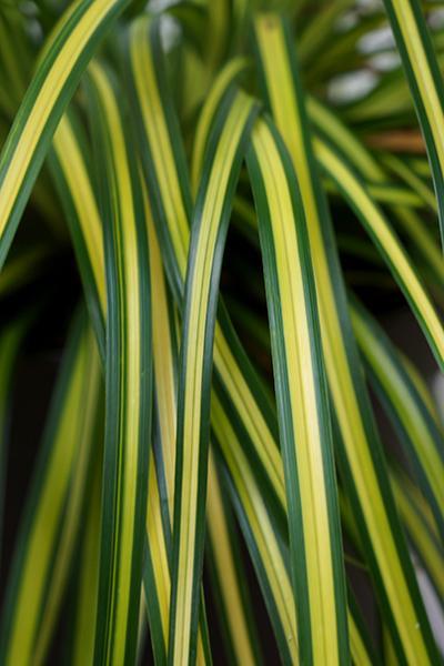 Carex oshimensis EverColor_ Eversheen