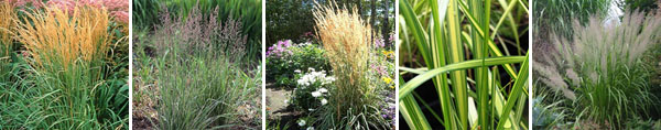 Calamagrostis Family and Friends
