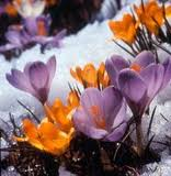 Crocuses in the the Snow