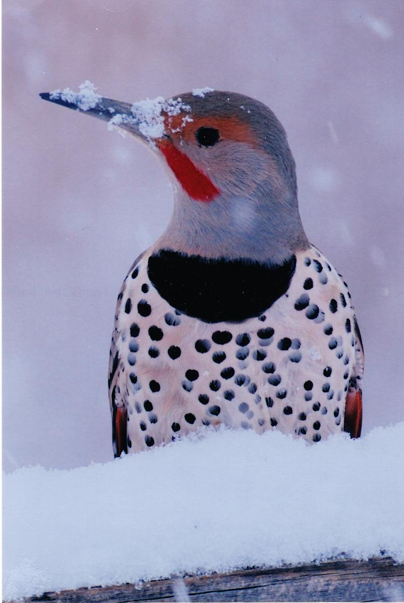 snow Faced Flicker 3rd place