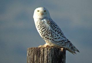 snowey owl 1