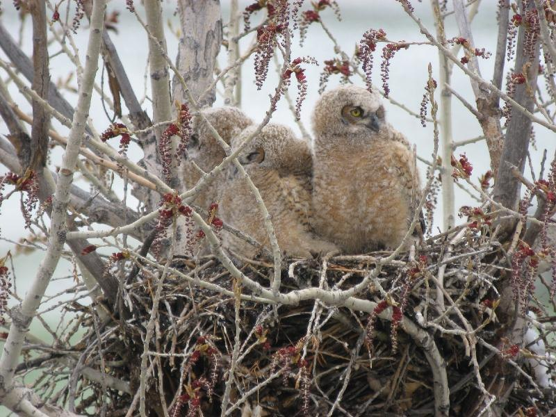 great horned chicks of chatfield