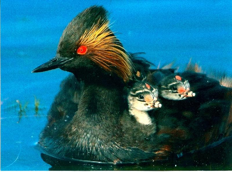 grebe with babies 2011 2nd place