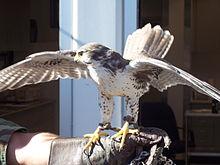 AFA falcon mascot