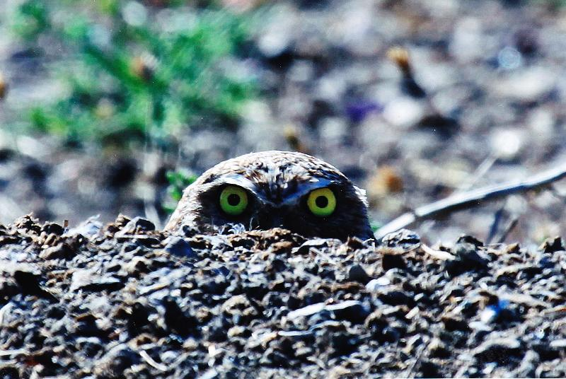 Burrowing owl 1st place