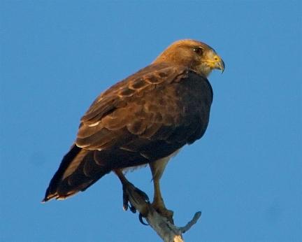 swainson's hawk 2