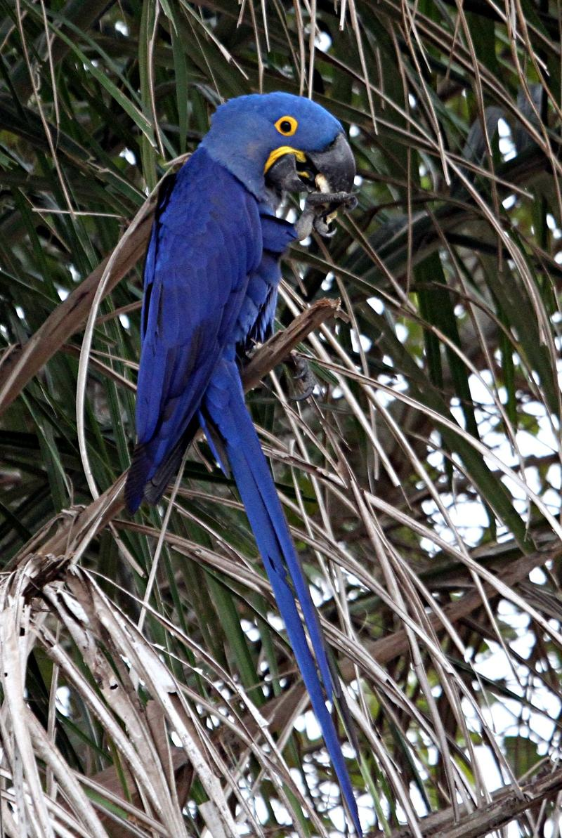 Hyacinth_Macaw