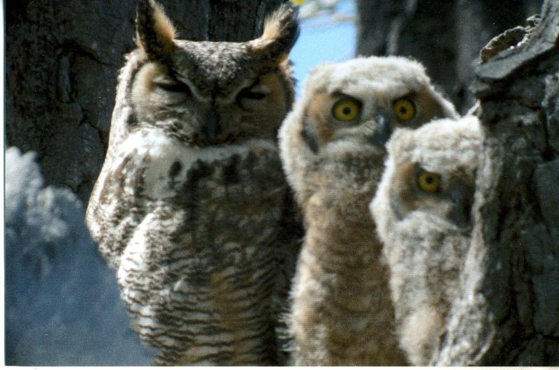 great horned owl family 2011 3rd place