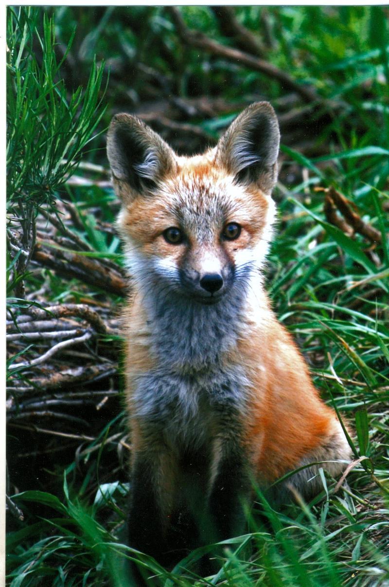 fox pup 2011 photo winner