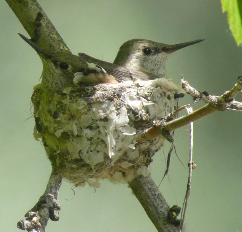 broadtailed hummingbird babies