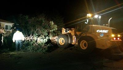 Spruce fallen on Lily Lane