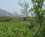 Shang's Tea Fields