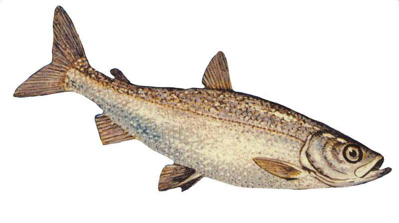 picture of a whitefish