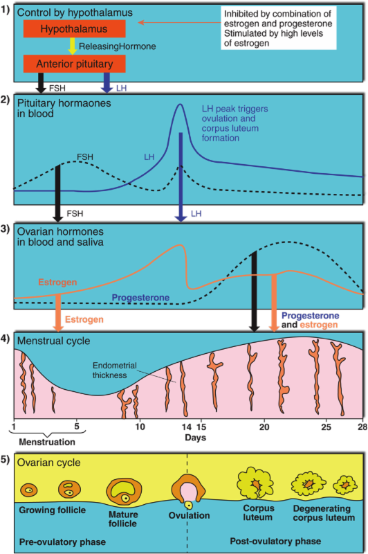 hormone levels during the menstrual cycle The menstrual cycle  during this period,  the circulating levels of hormone decline with the degeneration of the corpus luteum and the shedding of the lining.