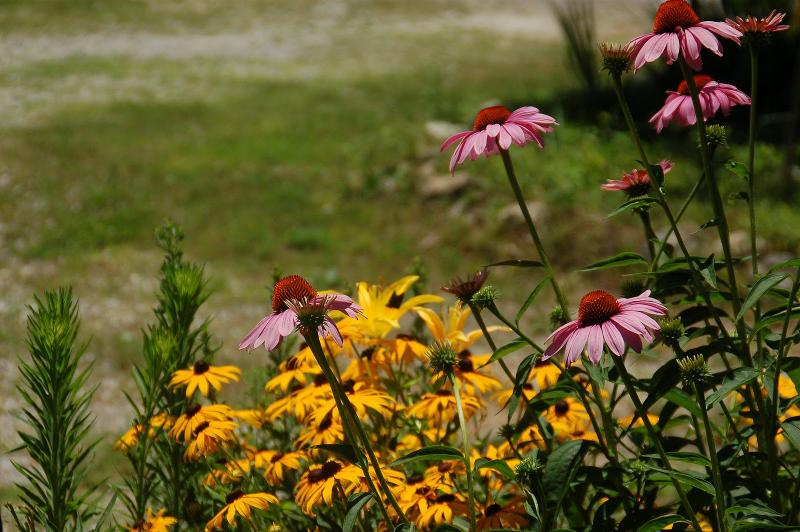 Coneflowers and black-eyed susans