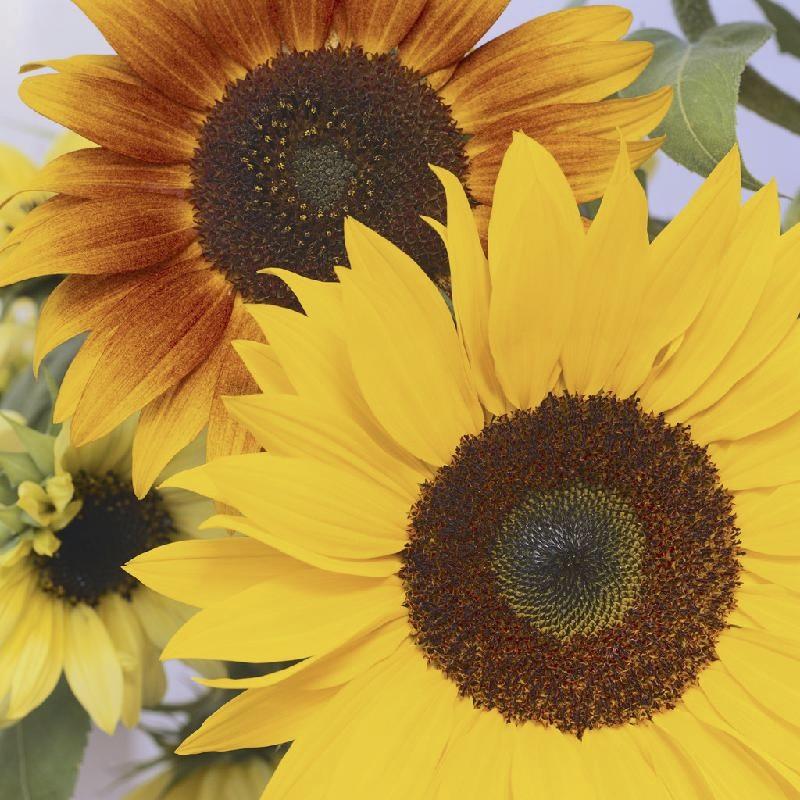 2sunflowers