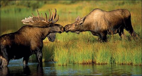 kissingmoose