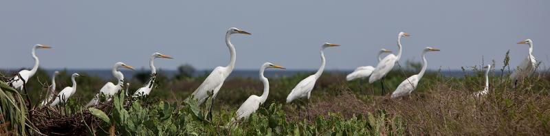 many egrets
