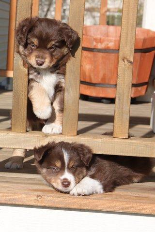 Joan's Puppies