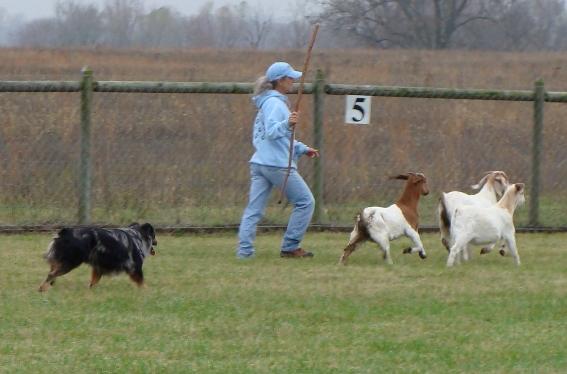Herding in an AKC field
