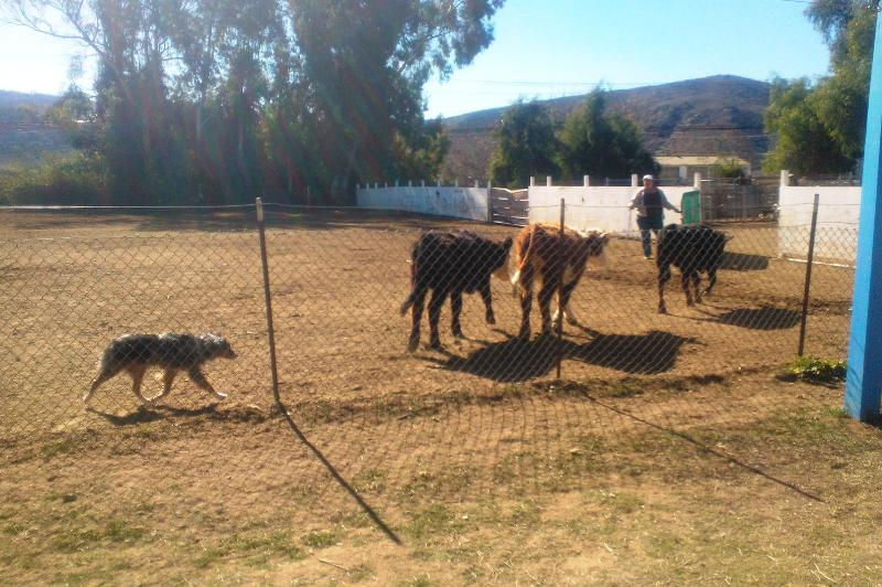 Mattie working cattle