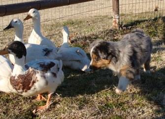 pup herding