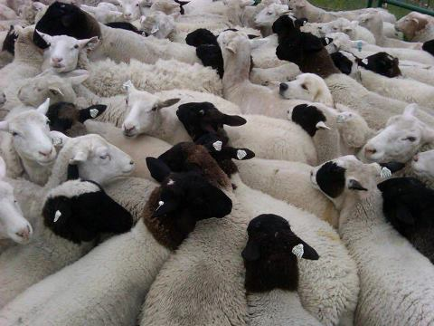 deep sheep