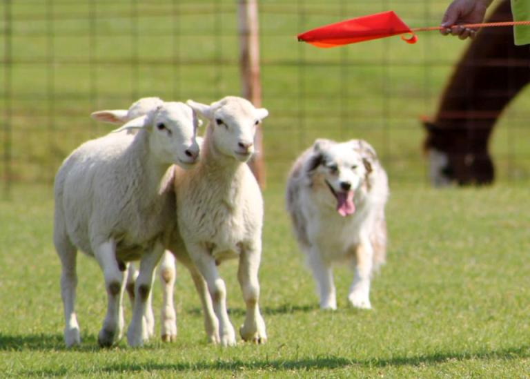 Mia at a herding Clinic
