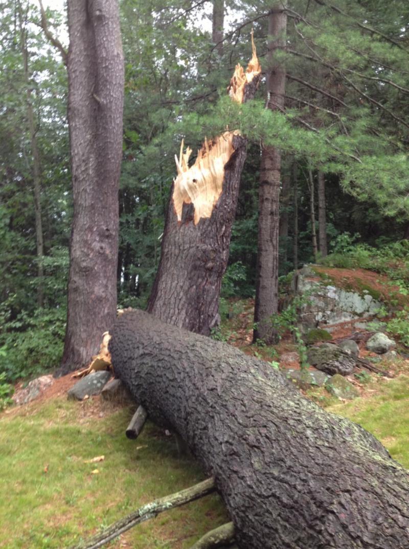 Huge pine fallen