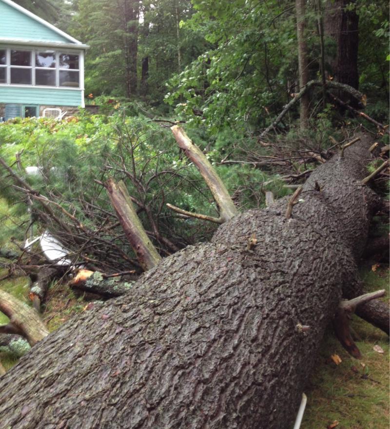 Pine Tree fallen