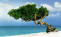 Aruba Divi-divi tree