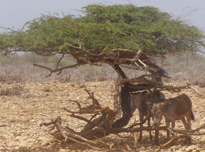 Divi-divi Tree sheltering donkeys from the sun