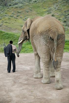 Large elephant walking