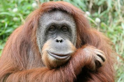 Hairy Orangutan