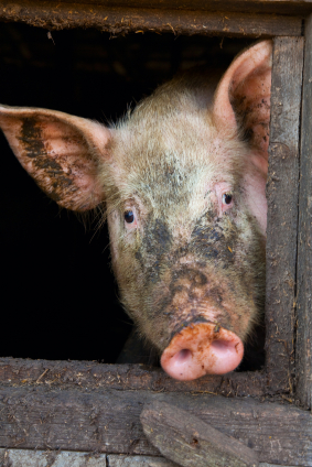 dirty pig snout