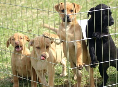 Four Puppies at the Fence