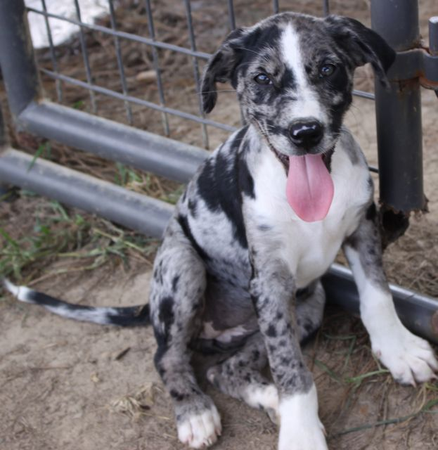 Catahoula Pup August 2011