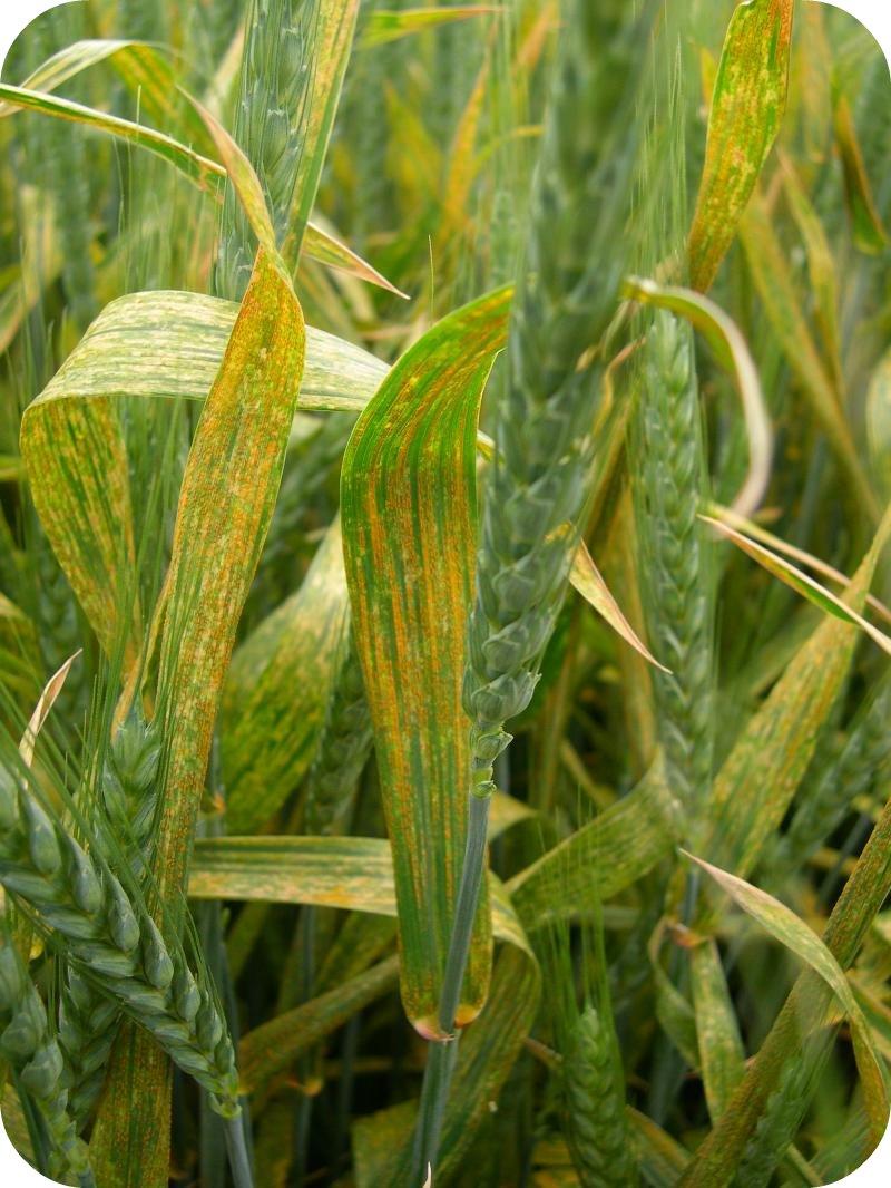 Wheat strip rust
