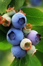 Pine Barrens Blueberries