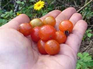 Wild Tomatoes @ ENCA Farm