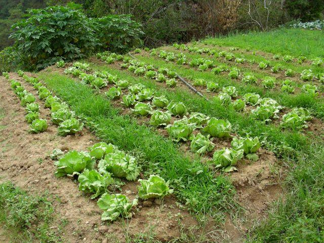 lettuce pic