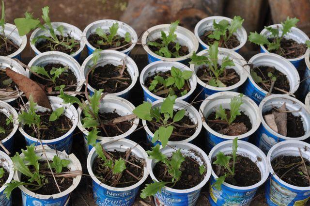 Lettuce Seedlings @ ENCA Farm