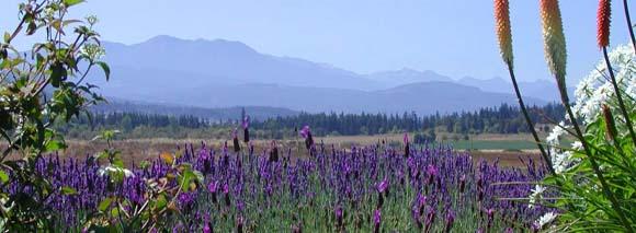 lavender page top