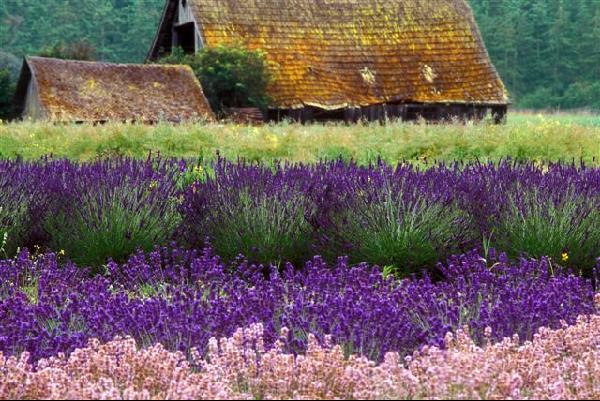Lavender Fields & Barn