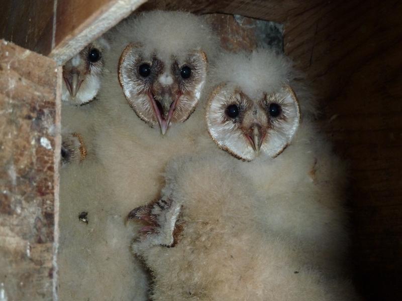 Barn owls March 2011
