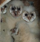 Barn owls March 2011