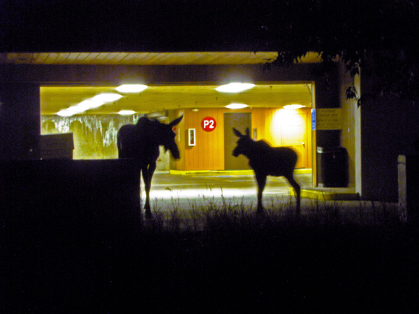 Moose in Vail Medical Center Parking Structure