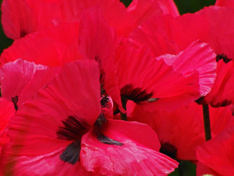 Betty Ford Alpine Garden Poppies